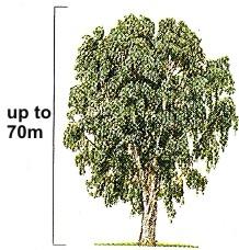 Eucalyptus_globulus