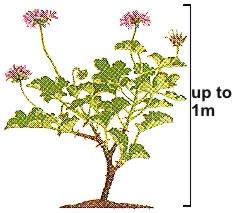 Pelargonium_capitatum