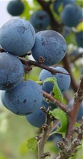 Prunus1